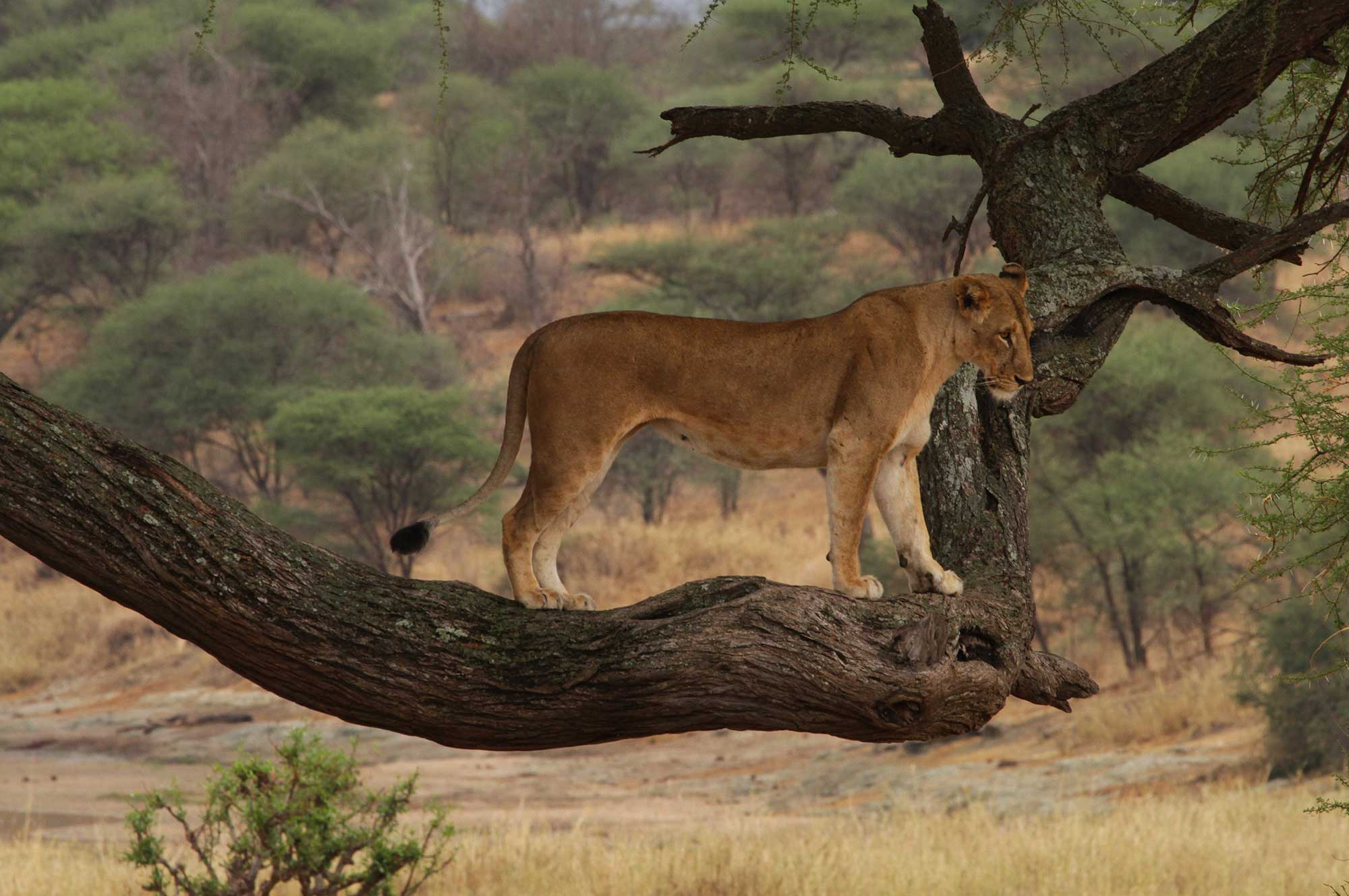 lion on a tree branch in the serengeti