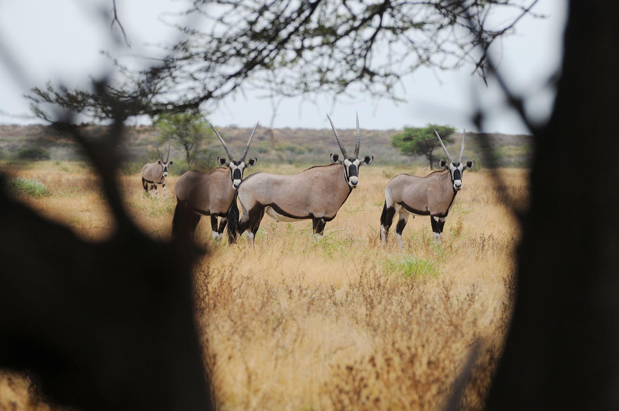orix in etosha natural park during a namibia safari