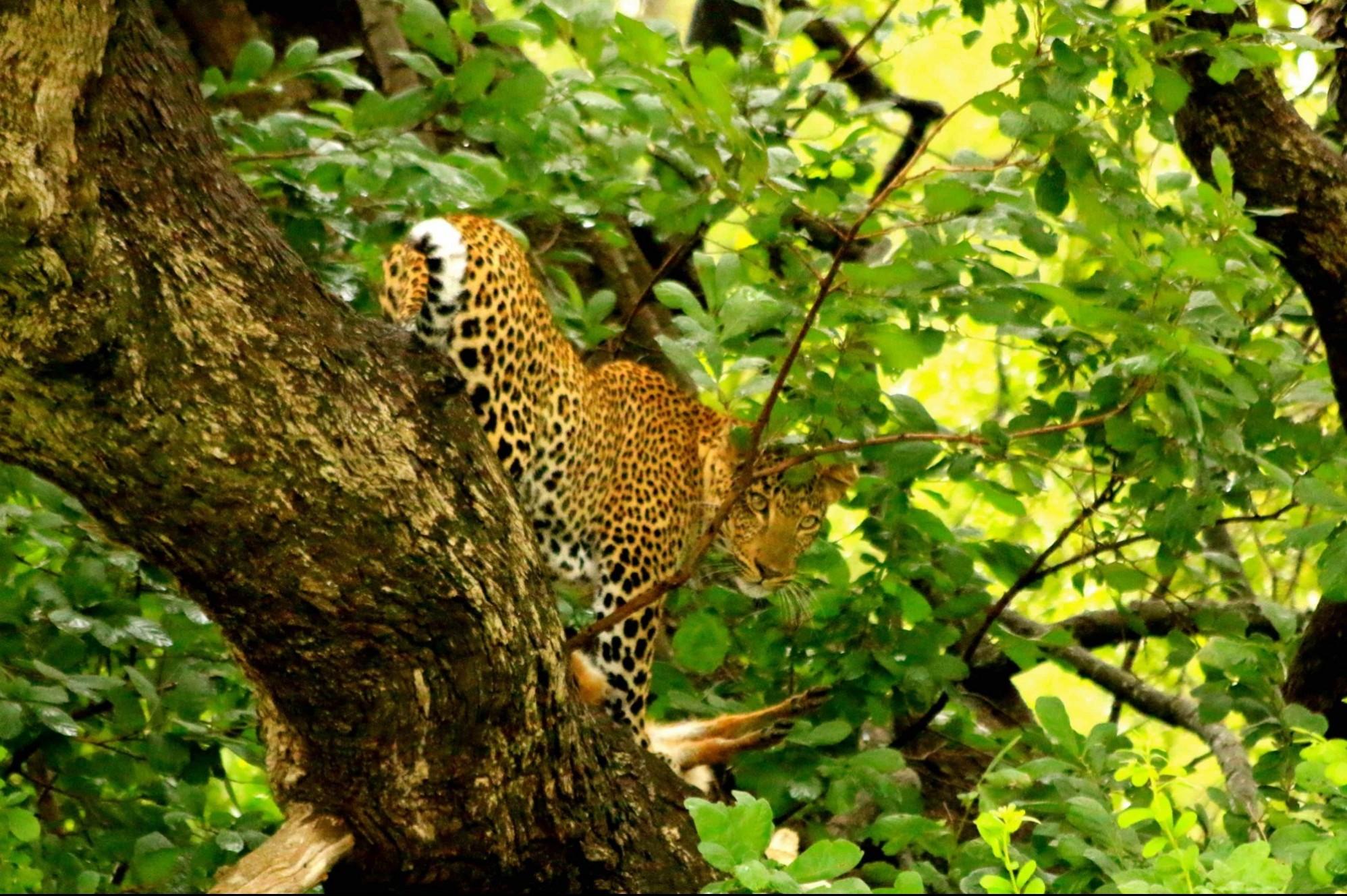 leopard during safari in botswana