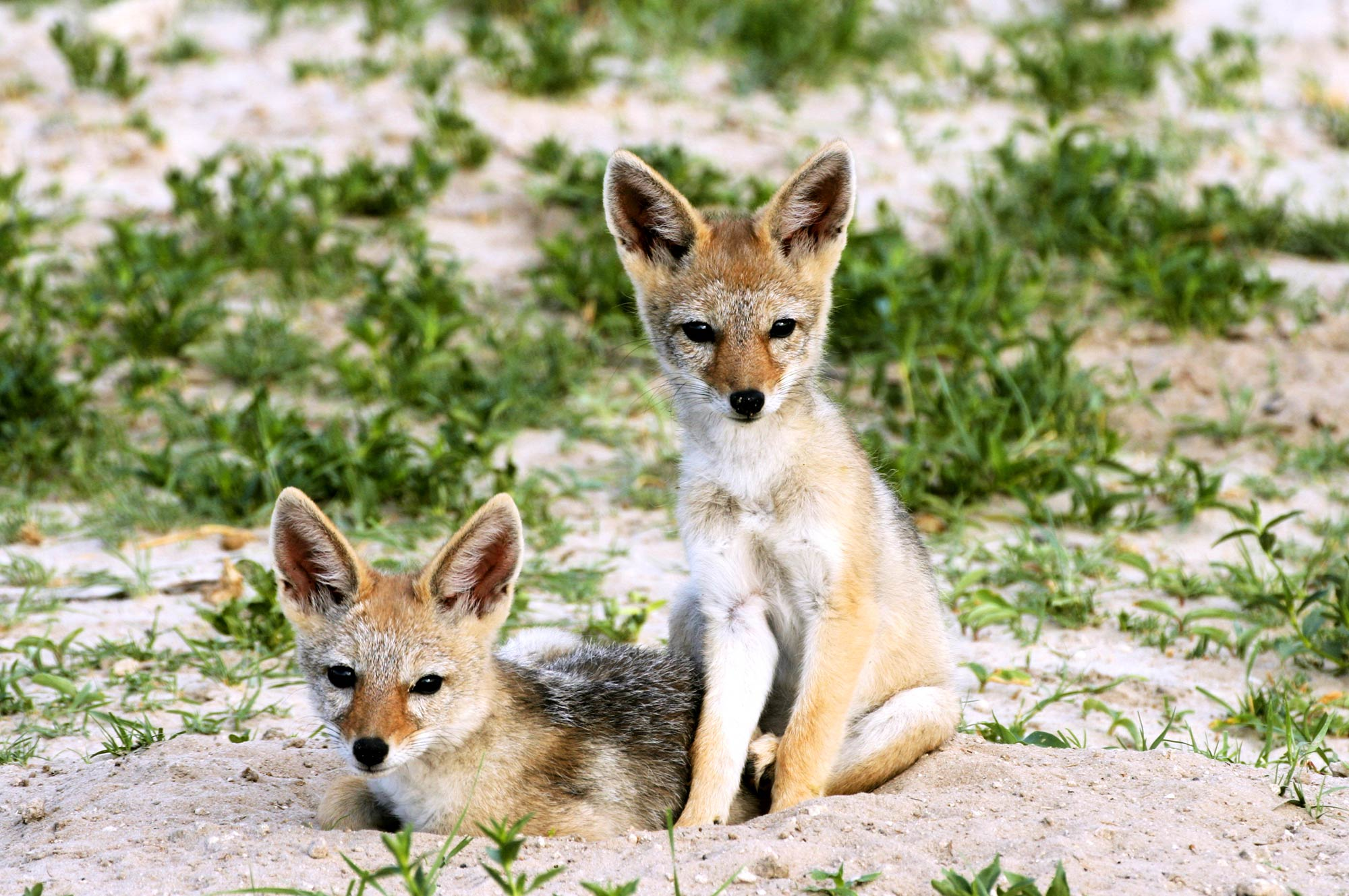 small foxes in kruger park during safari
